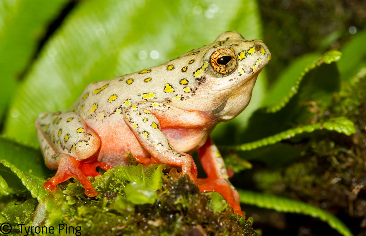 http://www.tyroneping.co.za/wp-content/uploads/2015/11/Hyperolius-marmoratus-verrucosus-Painted-Reed-Frog-George_Western-Cape.jpg