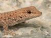 Phelsuma ocellata – Namaqua Day gecko