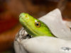 Eastern Green Mamba Hatching