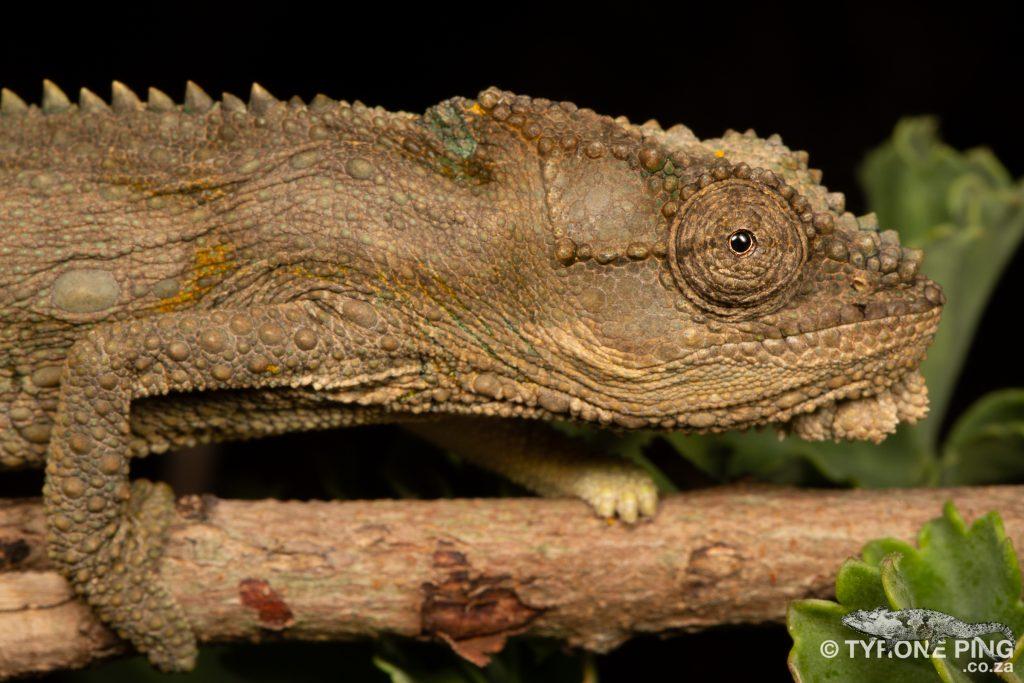 Bradypodion occidentale   Western Dwarf Chameleon   Namaqua Dwarf Chameleon   Tyrone Ping