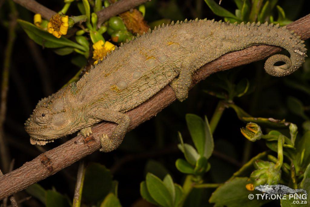 Bradypodion occidentale - Western Dwarf Chameleon