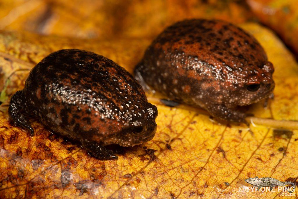 Breviceps acutirostris   Strawberry Rain Frog   Tyrone Ping