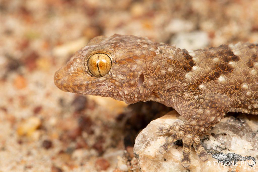 Chondrodactylus bibronii   Bibrons Gecko   Tyrone Ping