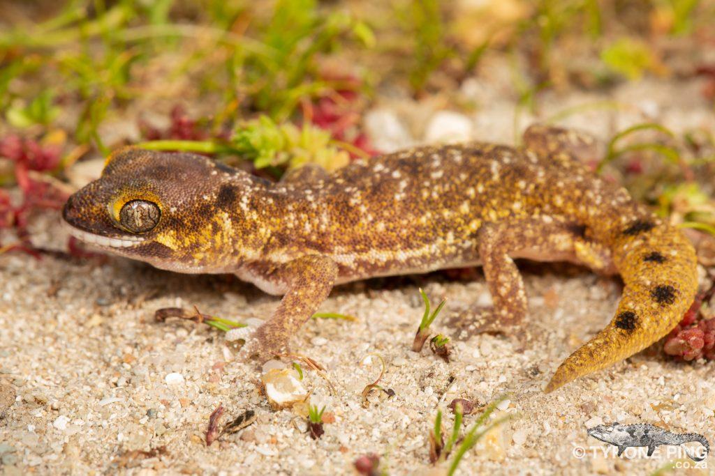 Pachydactylus austeni   Austens Dune Gecko   Tyrone Ping