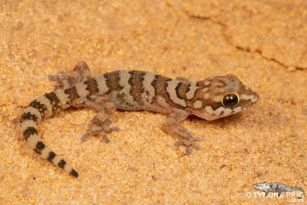 Pachydactylus formosus   Southern Rough Gecko   Tyrone Ping