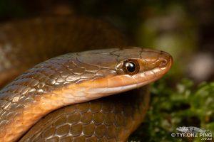 Lycodonomorphus rufulus | Brown Water Snake | Tyrone Ping