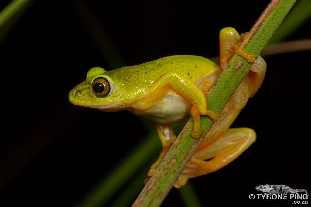 Hyperolius tuberilinguis_Tinker Reed Frog_Tyrone_Ping_2019