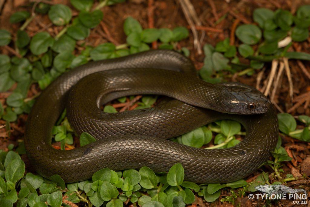 Olive Snake - Lycodonomorphus inornatus