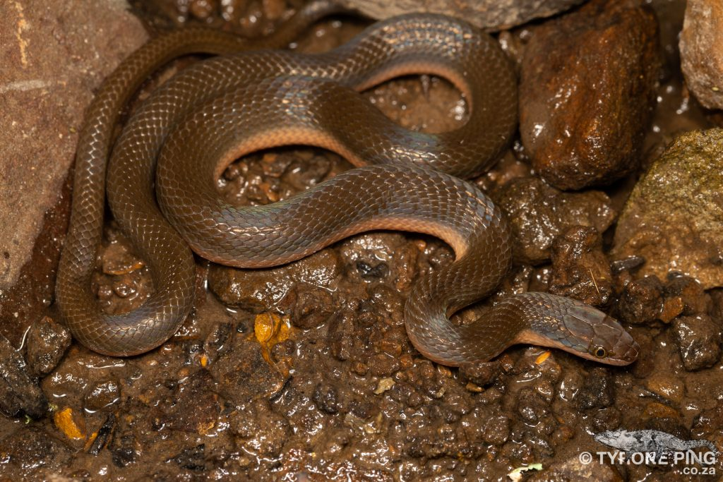 Lycodonomorphus rufulus Brown Water Snake. From Hogsback, Eastern Cape.