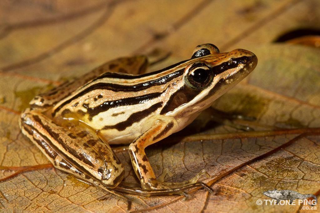 Strongylopus_fasciatus_Striped-Stream-Frog_-Mtunzini,-Kwa-Zulu-Natal