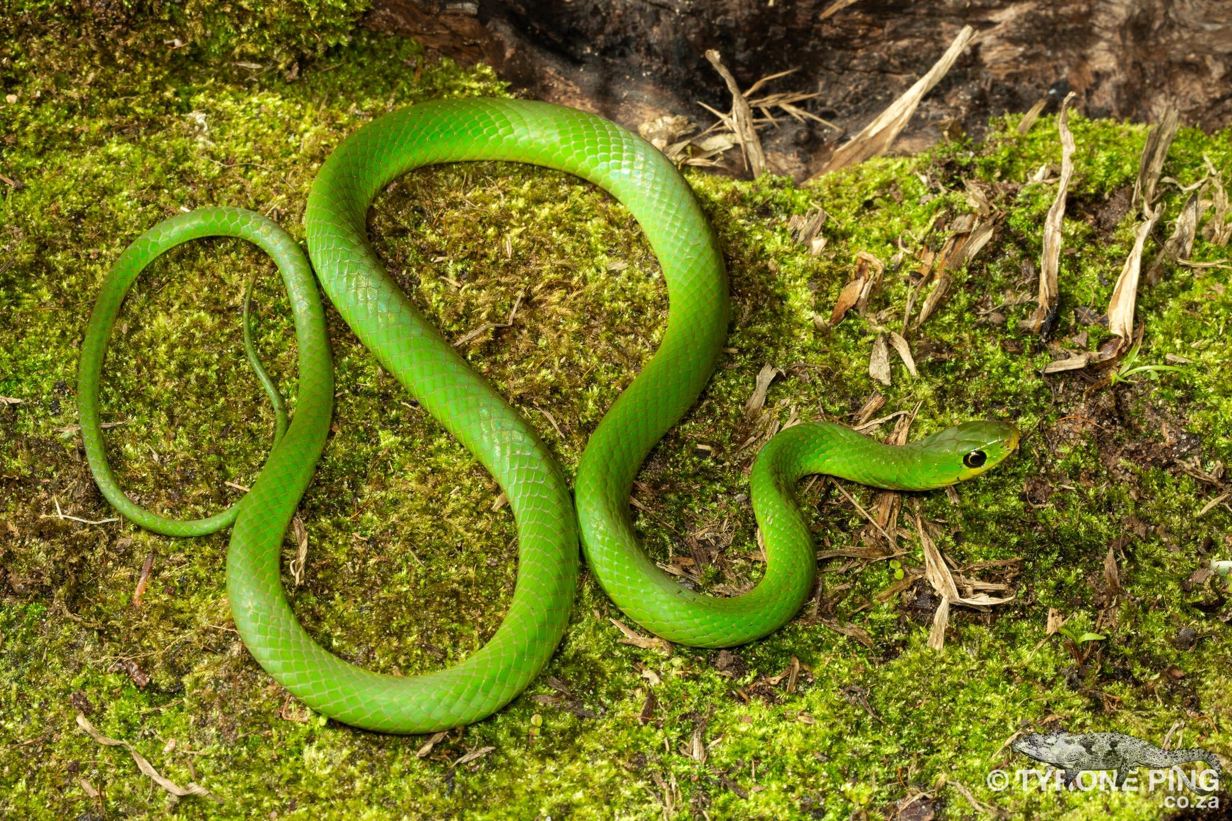 Philothamnus hoplogaster_Green_Water_Snake_Tyrone_Ping_2019